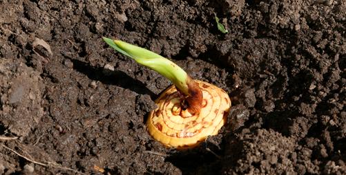 gladioluksen mukula istutettuna