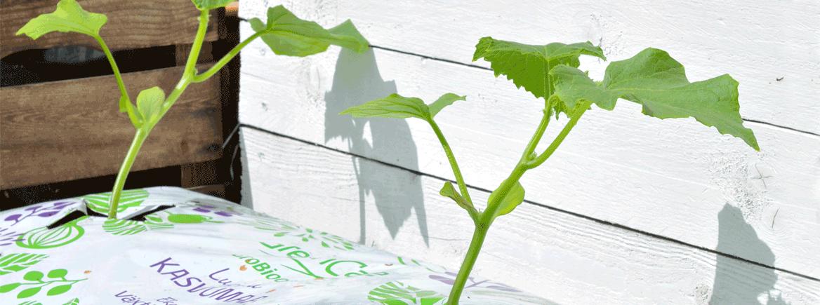Kurkuntaimet kylvetään huhtikuussa – taimimulta suojelee kasvavia juuria