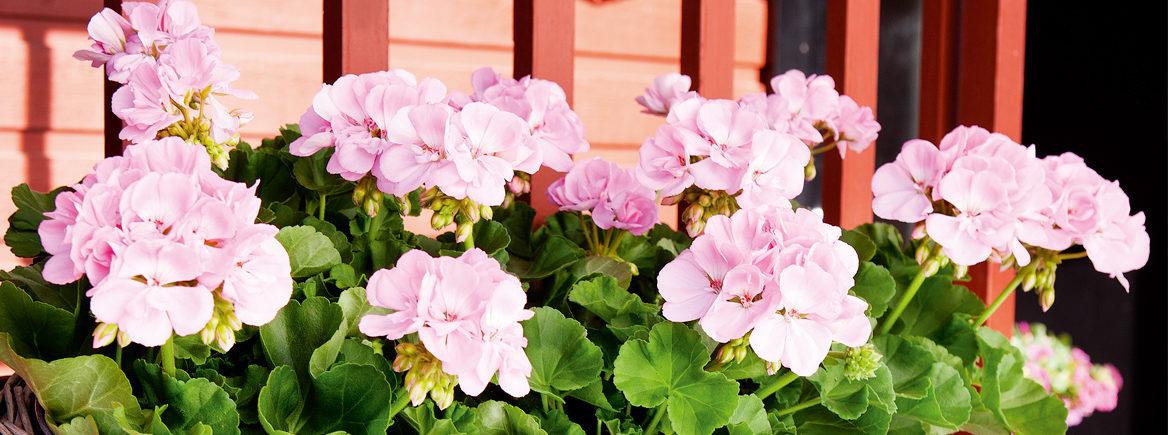 5 asiaa, jotka sinun pitää tietää pelargonin keväthoidosta!