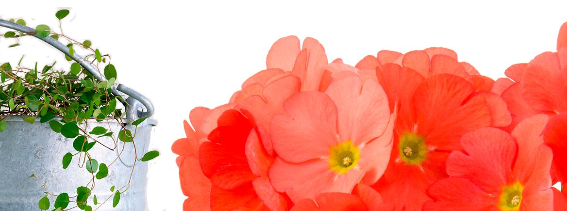 Aurinkoinen huone-esikko on helppohoitoinen kevätkukka