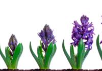 viisi lilaa hyasinttia eri kasvuvaiheessa