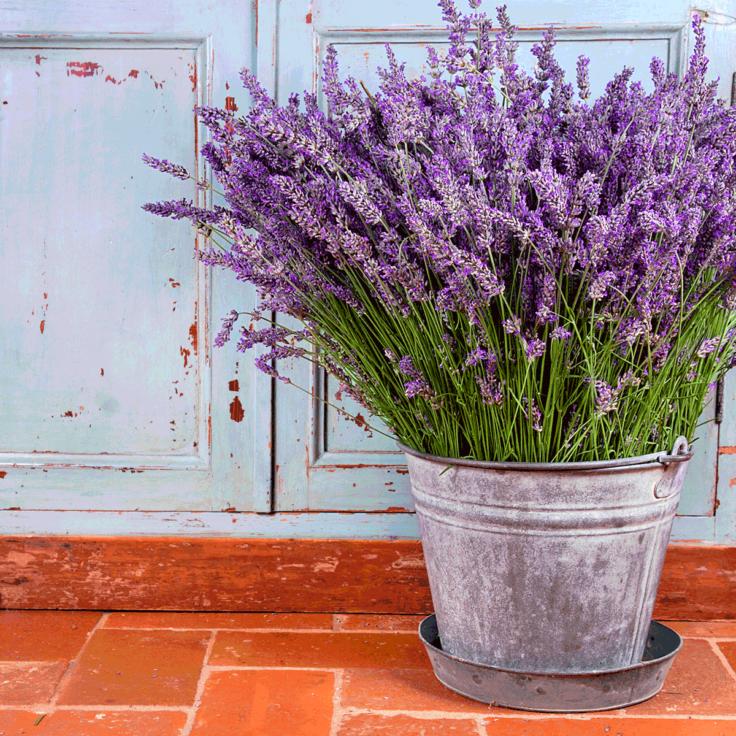laventeli ruukussa