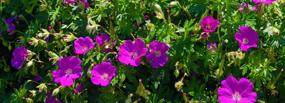Miten puutarhaa hoidetaan kesällä?
