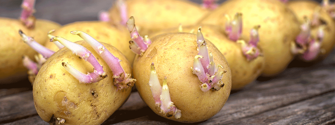 Juhannusperunaa metsästämässä – Vinkit perunan istutukseen ja kasvattamiseen keväällä