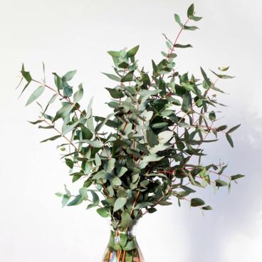 eukalyptuksen oksia maljakossa
