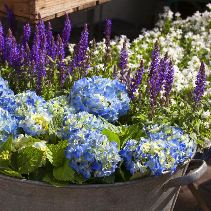Sininen hortensia ja laventelinkukkia