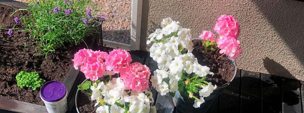 Puutarhan kesäkukkien ja mansikoiden hoito kesän helteillä
