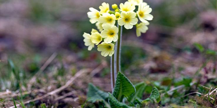 keltainen esikko on yksi varhaisista kevätkukkia