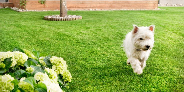 Valkoinen koira kävelee hyvin hoidetulla nurmikolla.