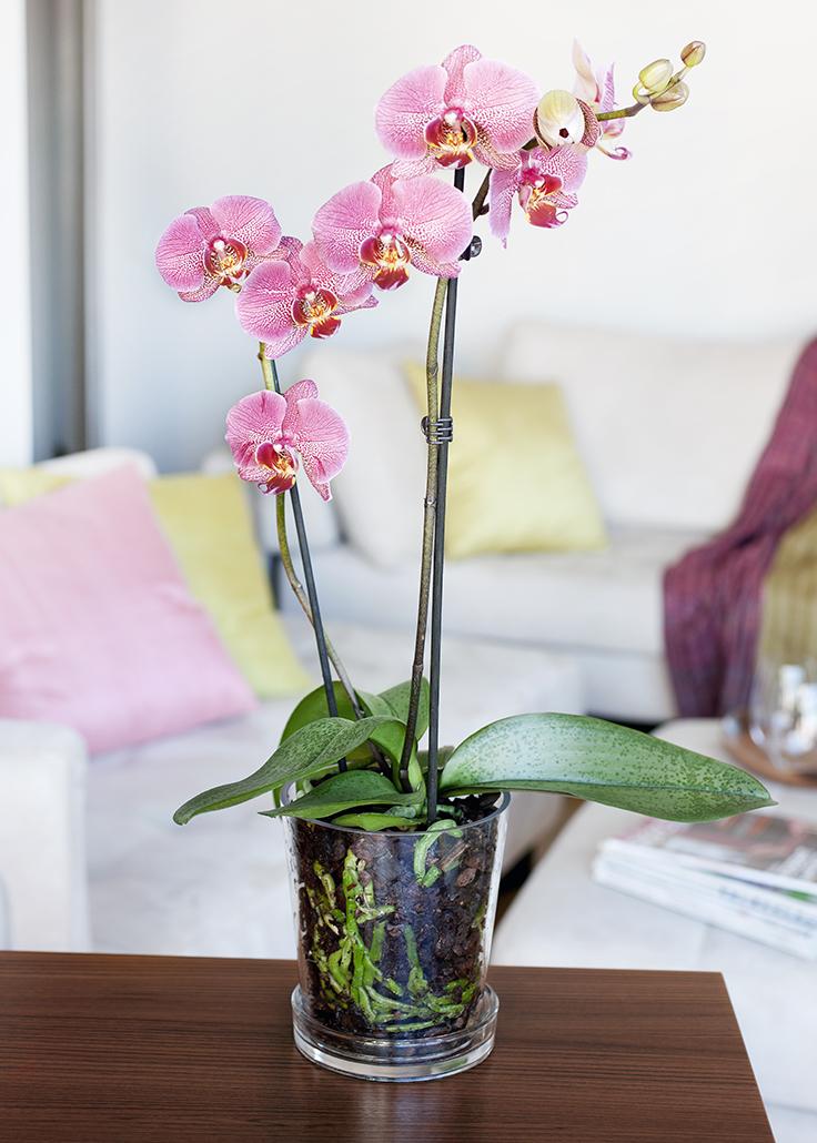 vaaleanpunainen Orkidea ruukussa