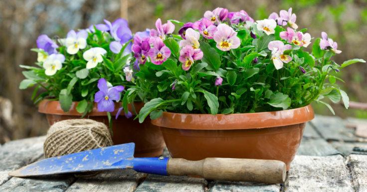 sinisten ja lilojen orvokkien istuttaminen vinkkikuva