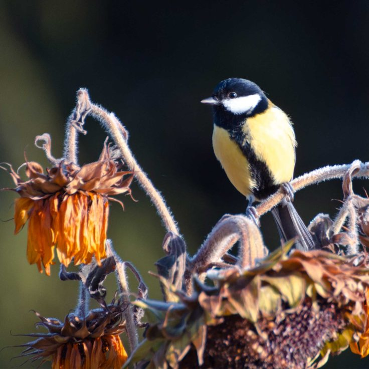 Puutarhan hoito syksyllä on mukavaa, kun ketterät talitintit syövät auringonkukansiemeniä suoraan kukasta.